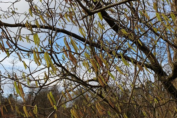 Catkins Large Rotated